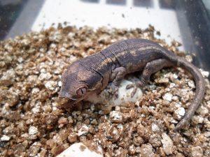 Baby Gargoyle Gecko