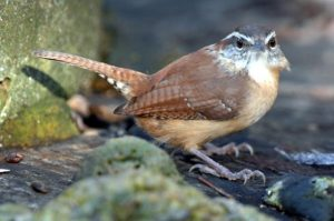 Carolina Wren Bird