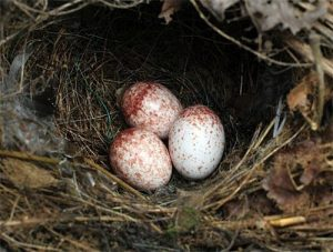 Carolina Wren Eggs