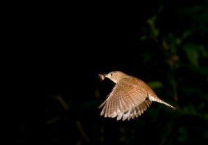 Carolina Wren Flying