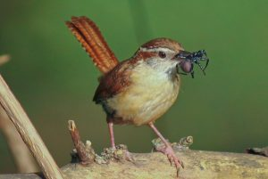 Carolina Wren Food