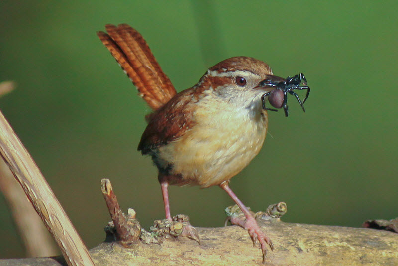 Carolina Wren Facts, Habitat, Diet, Life Cycle, Baby, Pictures