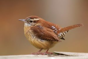 Carolina Wren Images