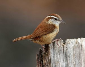 Carolina Wren Photos
