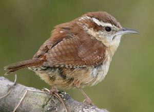 Carolina Wren Pictures