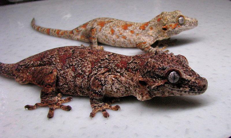 Crested Gecko Live Food Diet
