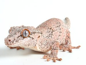 Gargoyle Gecko Photos