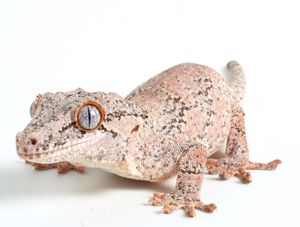 Gargoyle Gecko Facts Habitat Diet Life Cycle Baby Pictures