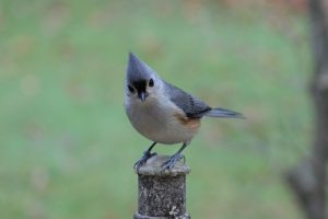 Picture of Tufted Titmouse