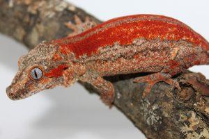 Red Gargoyle Gecko