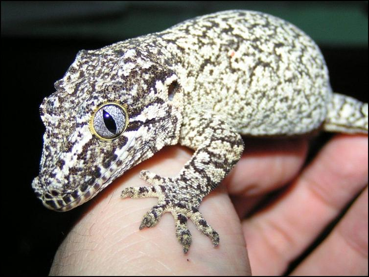 Gargoyle Gecko Facts Habitat Diet Life Cycle Baby