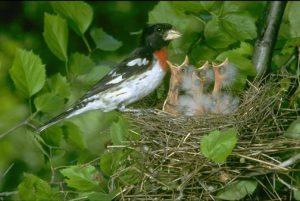 Rose Breasted Grosbeak Baby