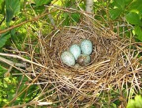 Rose Breasted Grosbeak Eggs