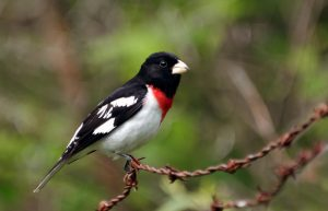 Rose Breasted Grosbeak Pictures