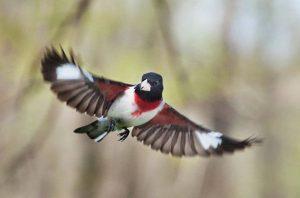 Rose Breasted Grosbeak in Flight