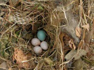 Tufted Titmouse Eggs