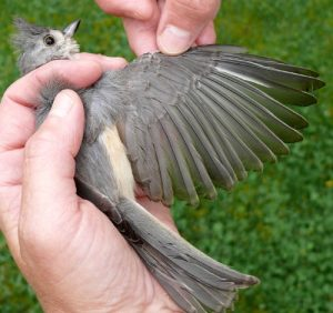 Tufted Titmouse Feathers