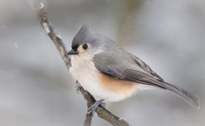 Tufted Titmouse Pictures