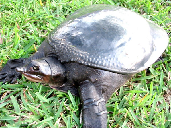 Florida Softshell Turtle Facts Habitat Diet Life Cycle