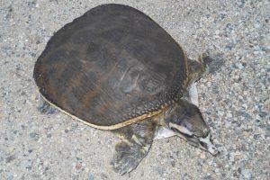 Florida Softshell Turtle Photos