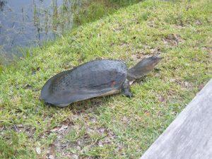 Florida Softshell Turtle Size
