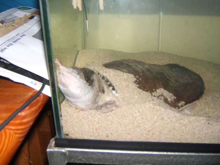 Florida Softshell Turtle Facts Habitat Diet Life Cycle Baby Pictures