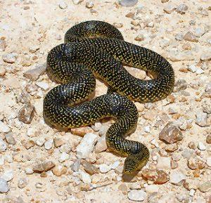 Speckled King Snake Images