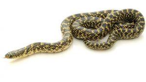 Speckled King Snake Photos