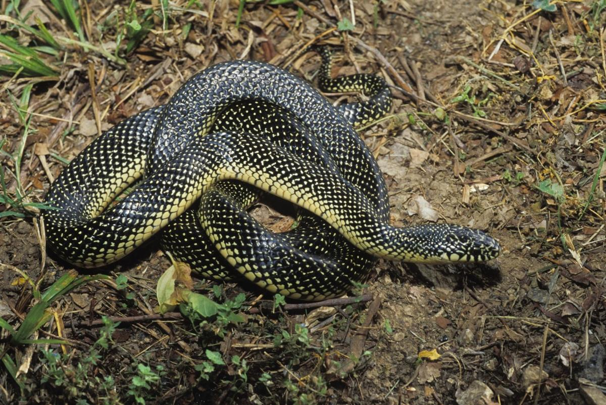 Speckled King Snake Facts Habitat Diet Life Cycle Baby