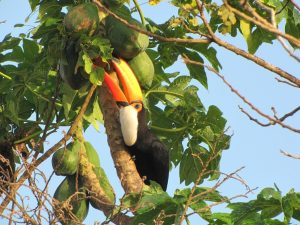 Toco Toucan Eating