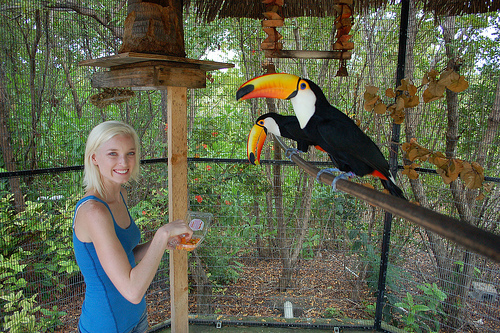 toco toucan facts habitat diet life cycle baby pictures