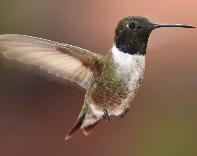 Black Hummingbird With White Ring Around Belly
