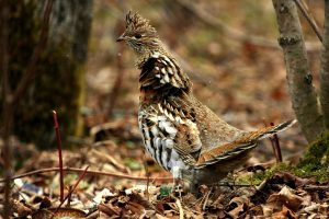 Pictures of Ruffed Grouse