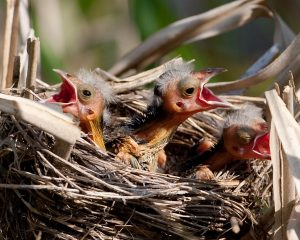 Red Winged Blackbird Babies