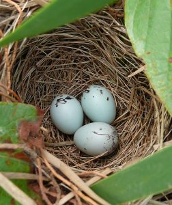 Red Winged Blackbird Eggs