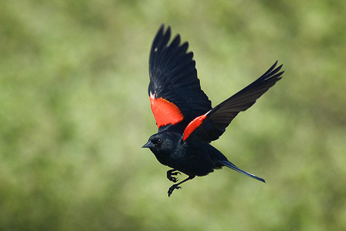 Red Winged Blackbird Facts Habitat Diet Life Cycle Baby Pictures