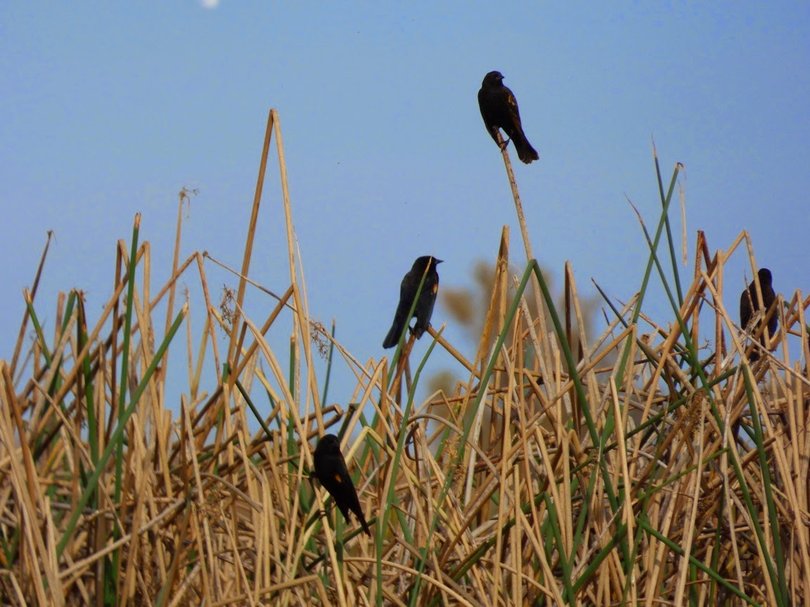 Red winged blackbird facts habitat diet life cycle baby pictures red winged blackbird habitat buycottarizona