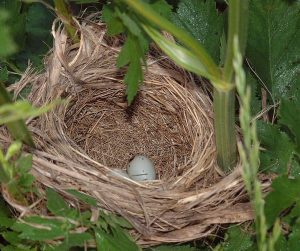 Red Winged Blackbird Nest