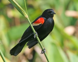Red Winged Blackbird Photos