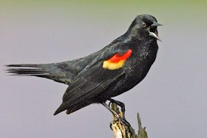 Red Winged Blackbird Pictures