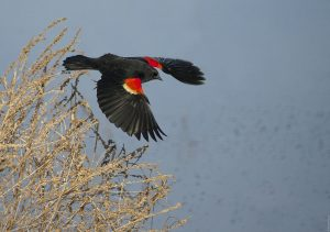 Red Winged Blackbird in Flight