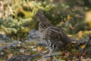 Ruffed Grouse Bird