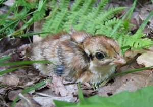 Ruffed Grouse Chicks