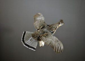 Ruffed Grouse Flying