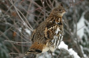 Ruffed Grouse Photos
