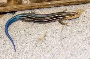 Southeastern Five Lined Skink Images