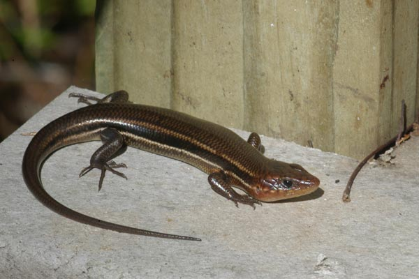 Southeastern Five-Lined Skink Facts, Habitat, Diet, Life