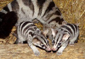 African Civet Babies