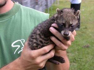 African Civet Baby
