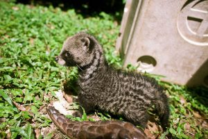 African Civet Baby Pictures